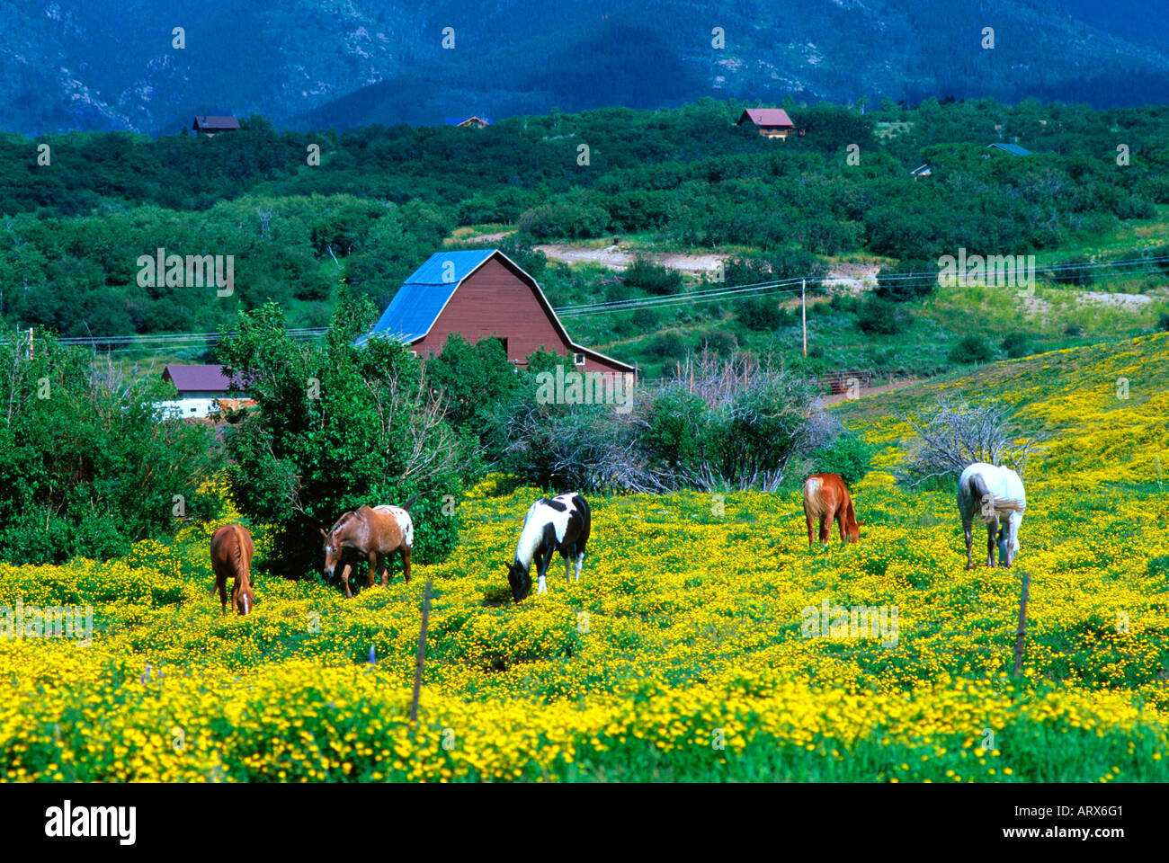 Flowers steamboat springs colorado stock photos flowers horses in a field of yellow flowers near steamboat springs colorado usa stock image dhlflorist Choice Image