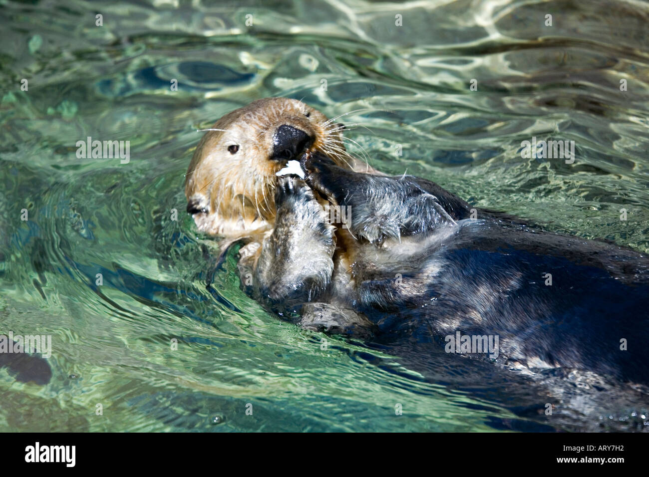 Sea otter enhydra lutris swimming on back eating fish for Fish swimming backwards