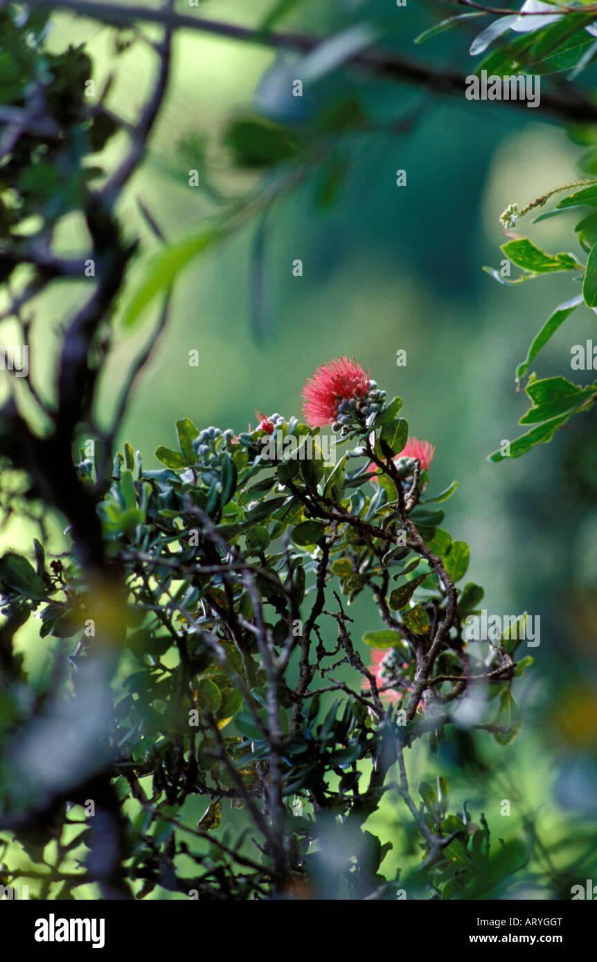 A blossoming ohia tree a native hawaiian plant manoa cliffs trail a blossoming ohia tree a native hawaiian plant manoa cliffs trail honolulu izmirmasajfo Images