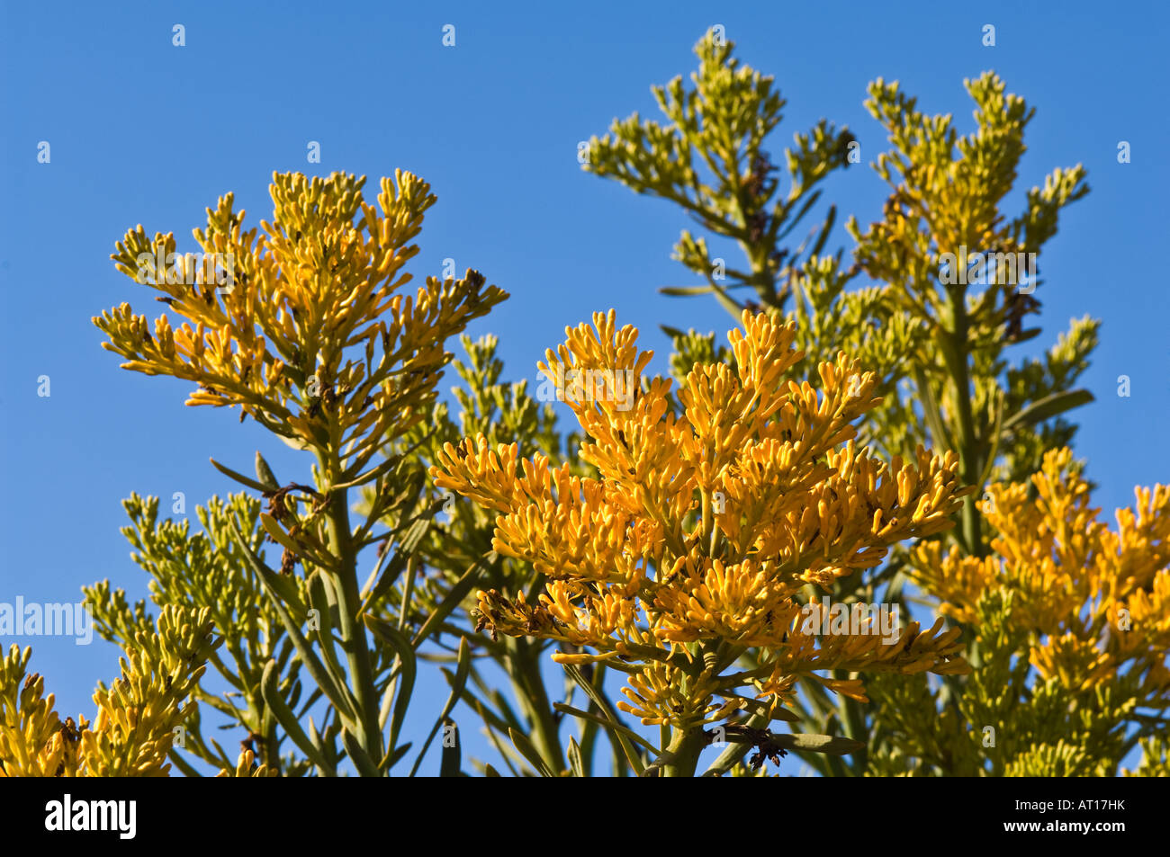 Western Australian Christmas Tree Nuytsia Floribunda Flowers Stock Photo Fitzgerald
