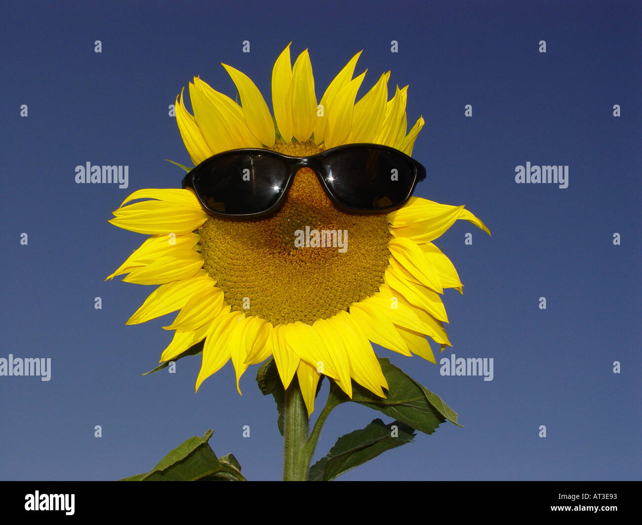 Sunflower with sun glasses as symbol for protection from solar sunflower with sun glasses as symbol for protection from solar radiation uv light sun protection factor etc biocorpaavc Image collections