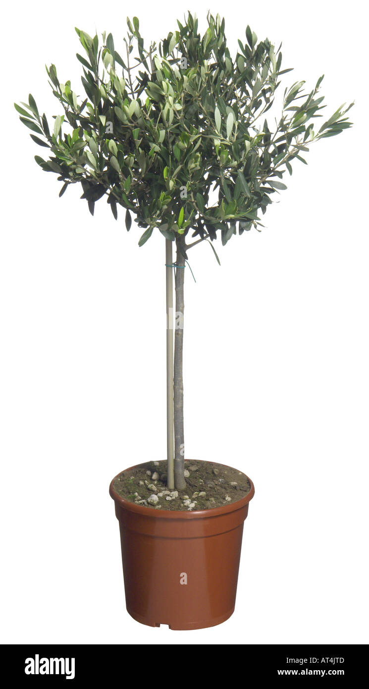 Olive tree olea europaea ssp sativa potted plant stock for Olive trees in pots winter care