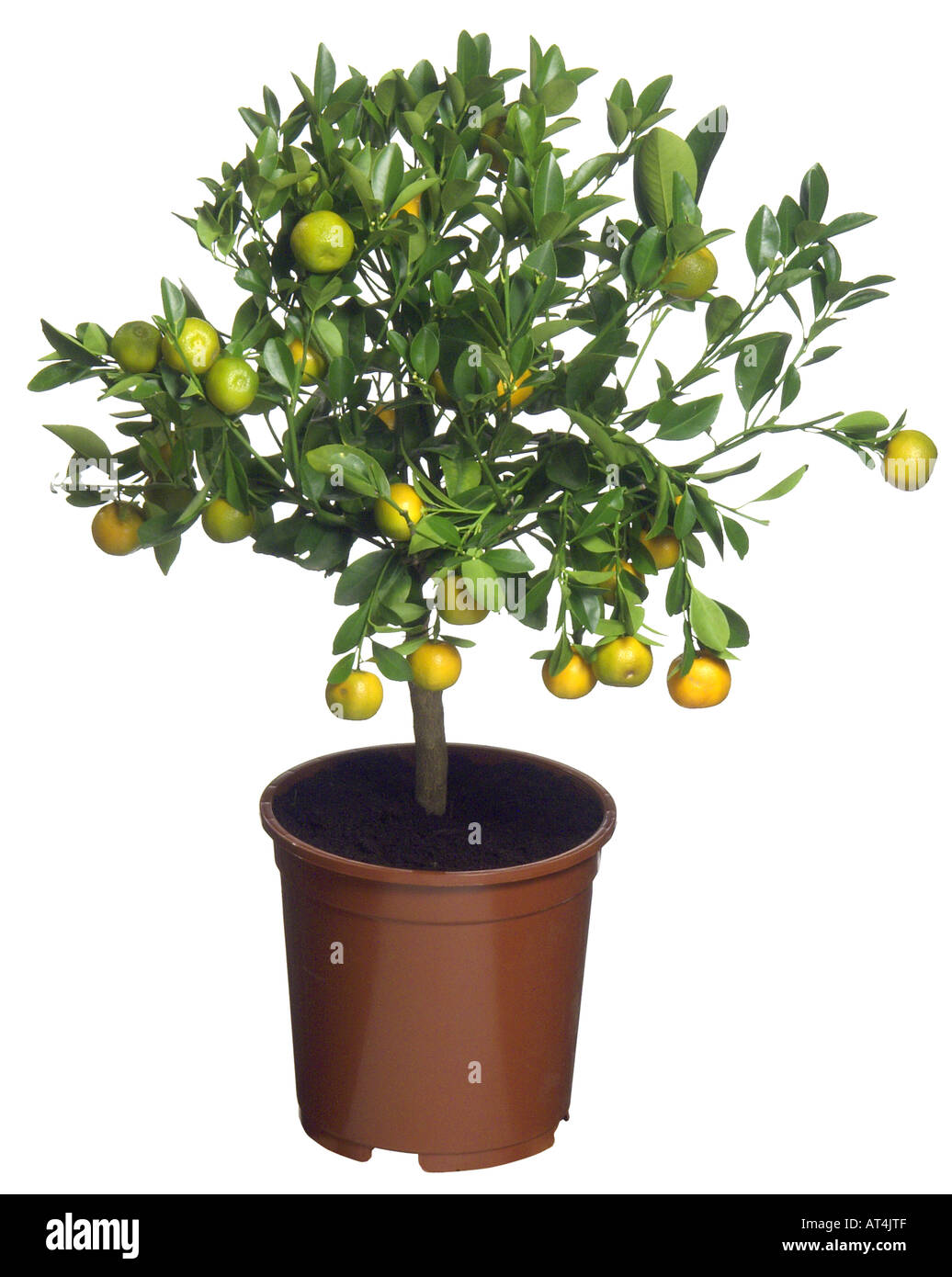 Chinotto lemon citrus myrtifolia citrus x myrtifolia for Citrus myrtifolia