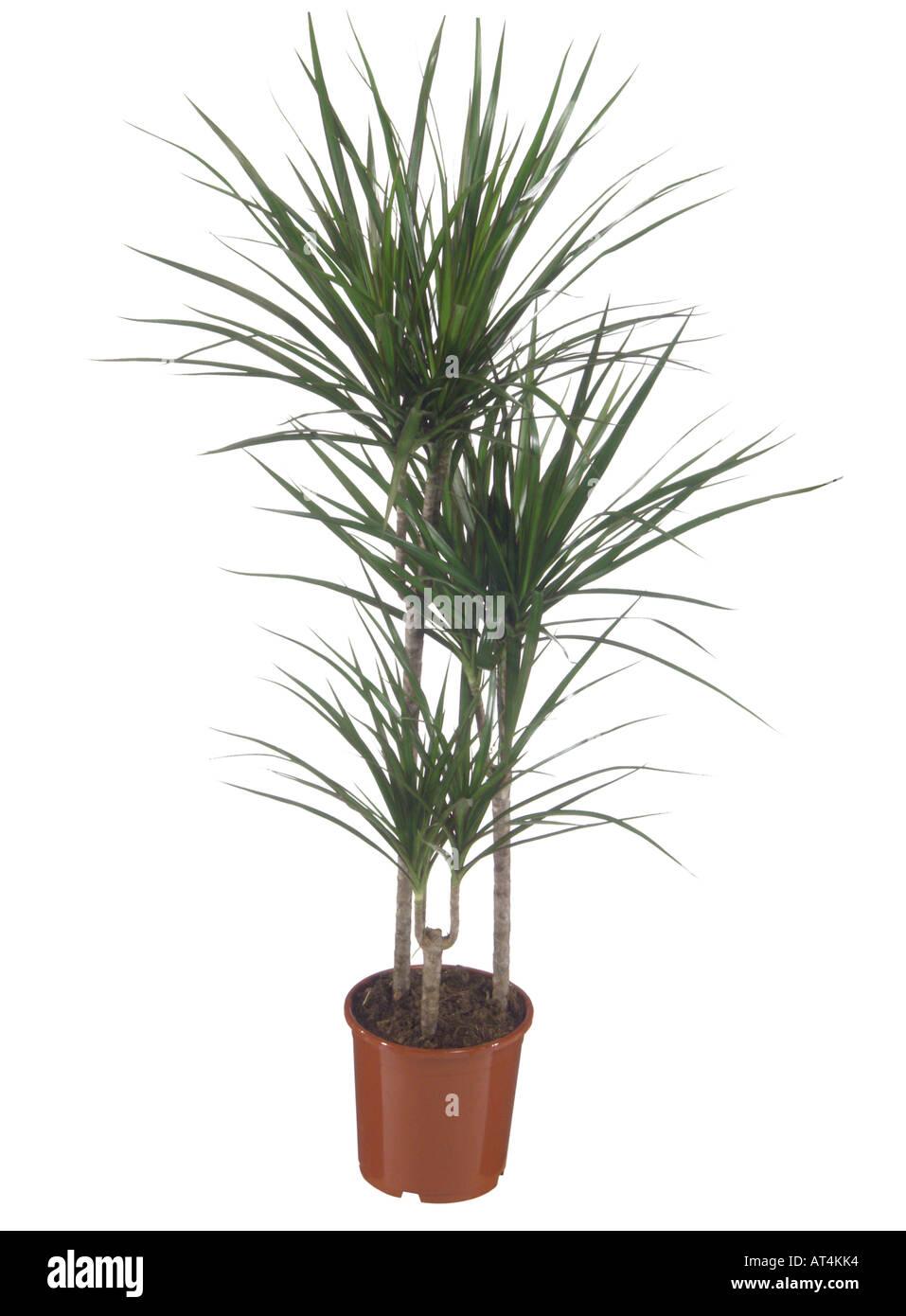 http://c8.alamy.com/comp/AT4KK4/dragon-tree-dracaena-marginata-potted-plant-AT4KK4.jpg Dracaena