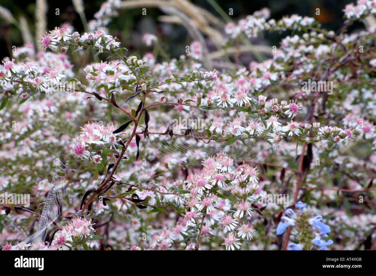 aster lateriflorus lady in black during october stock