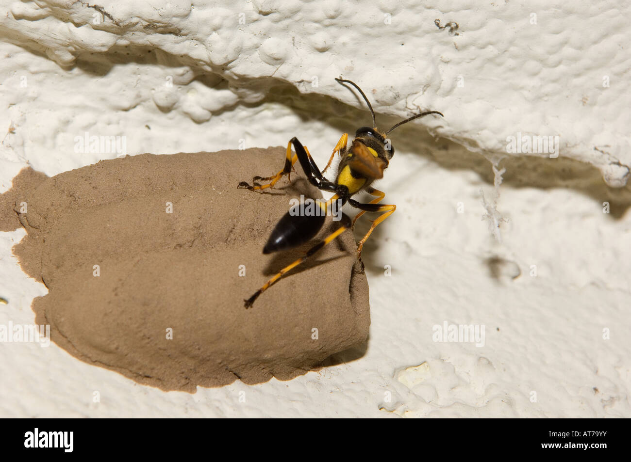 Wasp, Yellow Jacket Wasp, mud nest or paper nest A nest cell of ...