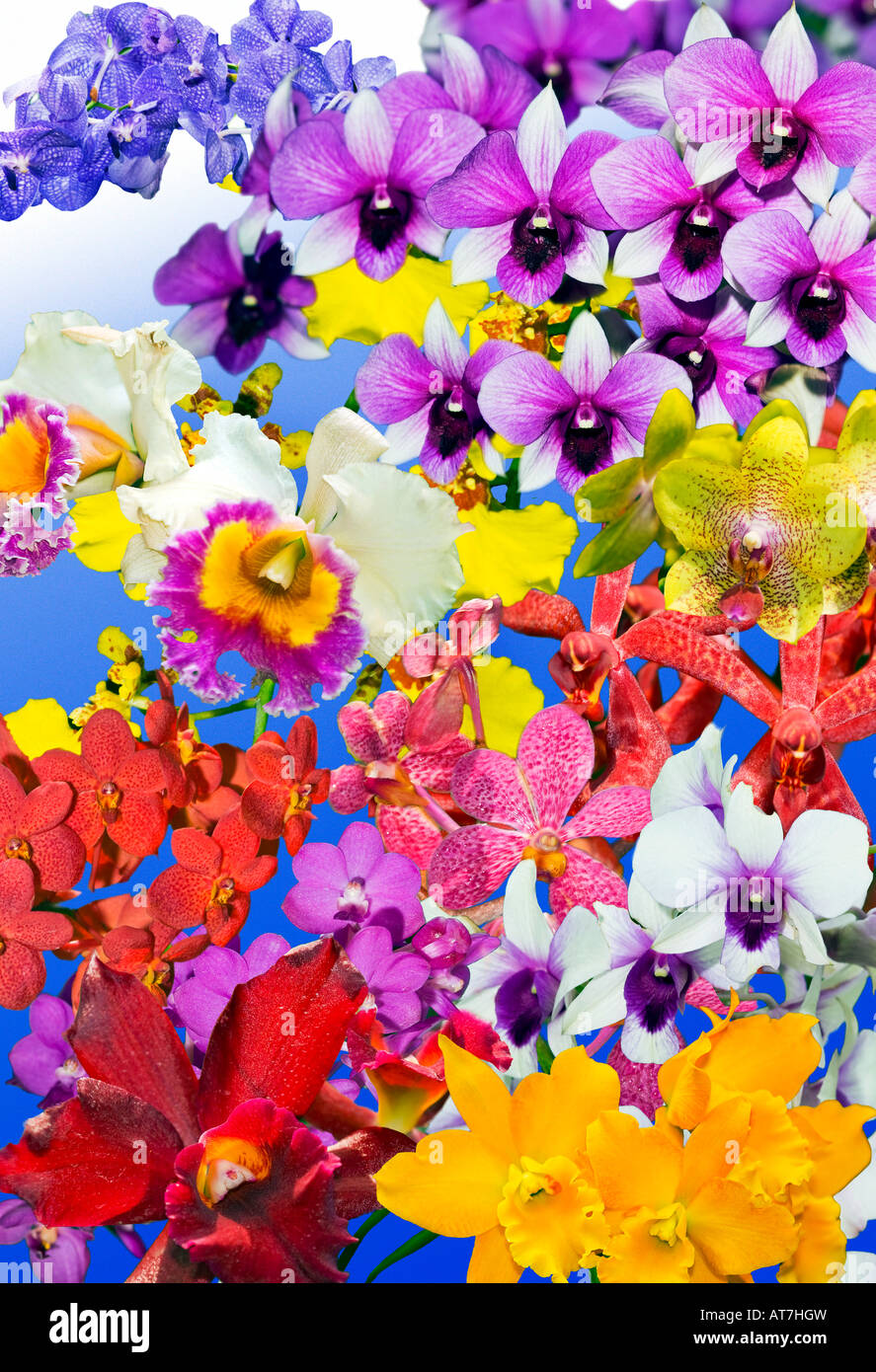 Stock Photo   Mixed ORCHIDS Plants Cattleya Orchid Orchidgarden Orchid  Garden Red Pink Yellow Green Blue On Plain Blue Background Art Work