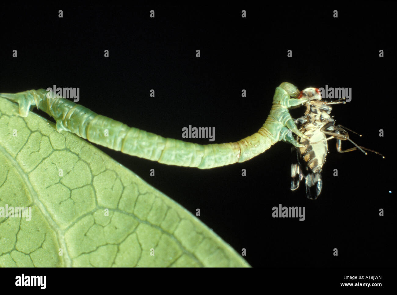 inch worm stock photos u0026 inch worm stock images alamy
