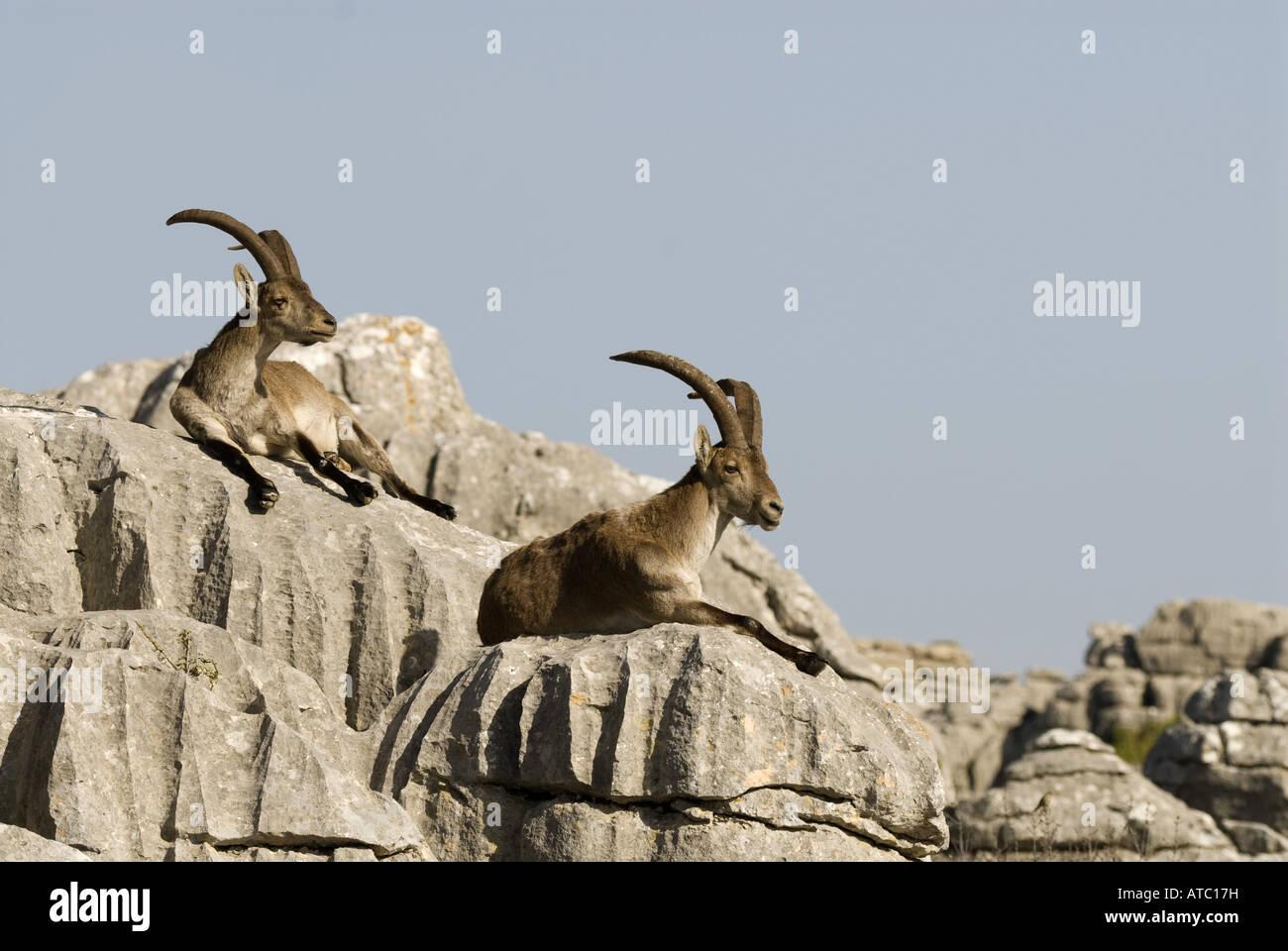 Rocks In Spanish Part - 18: Iberian Ibex, Spanish Ibex (Capra Pyrenaica), Two Individuals Resting On Rocks  In The Sun, Spain, Andalusia, Naturschutzgebiet