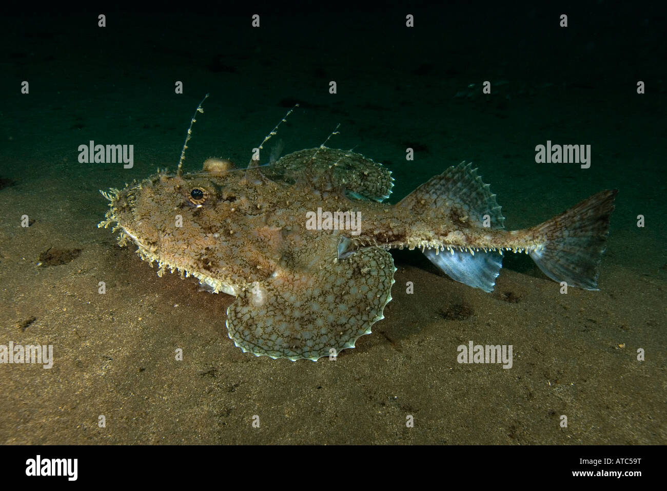 Monk fish underwater scuba diving ocean sea marine for Deep sea fishes