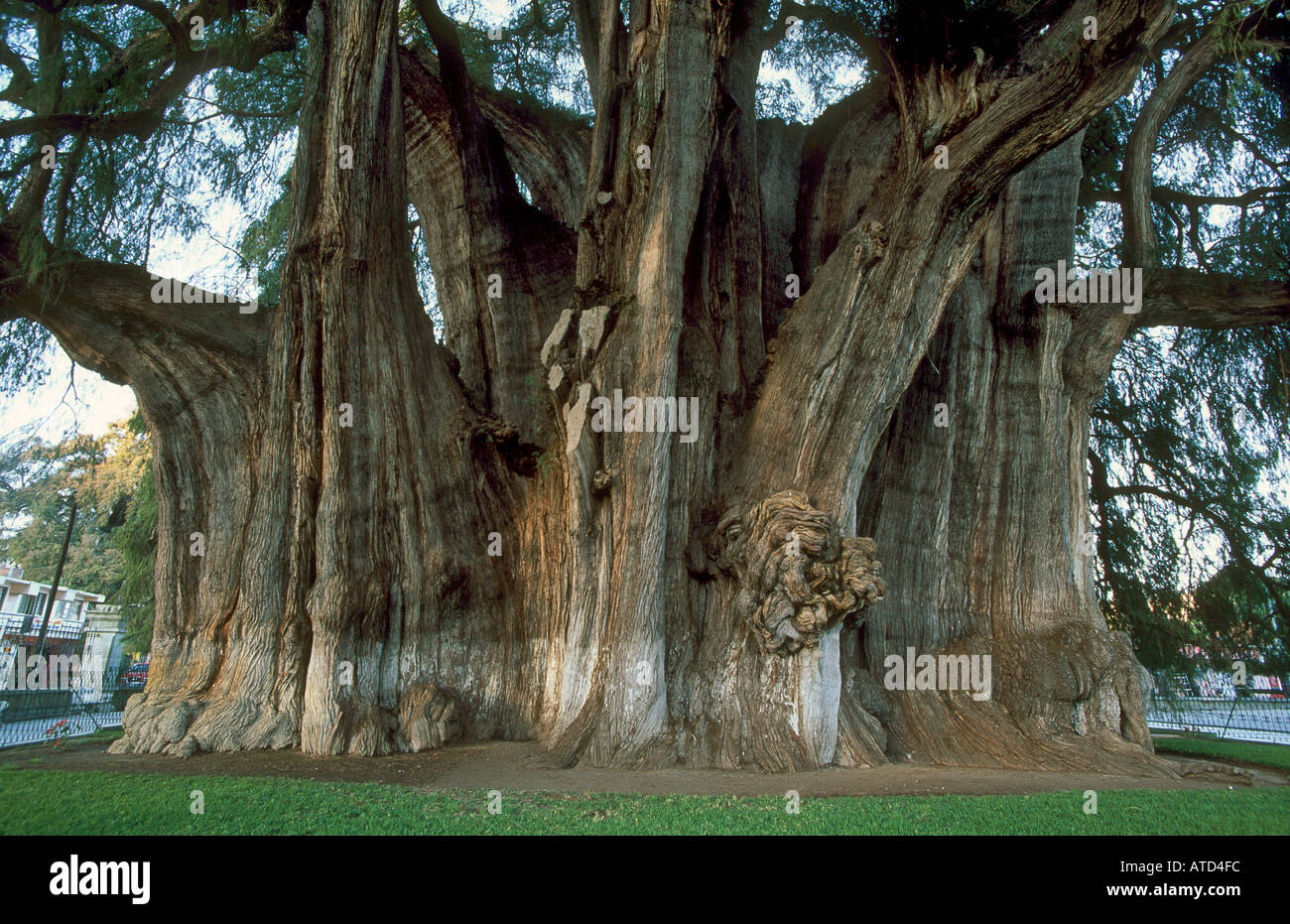 The Tule Tree or Montezuma Cypress Taxodium sp near Oaxaca ...