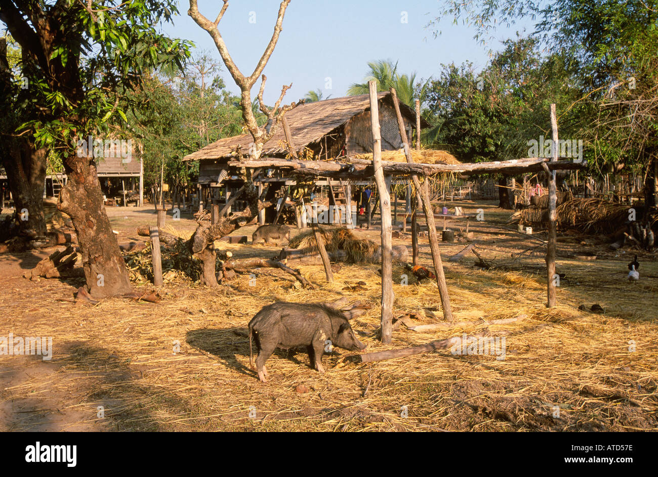 Pig in font of new wooden house in remote forest village southern laos