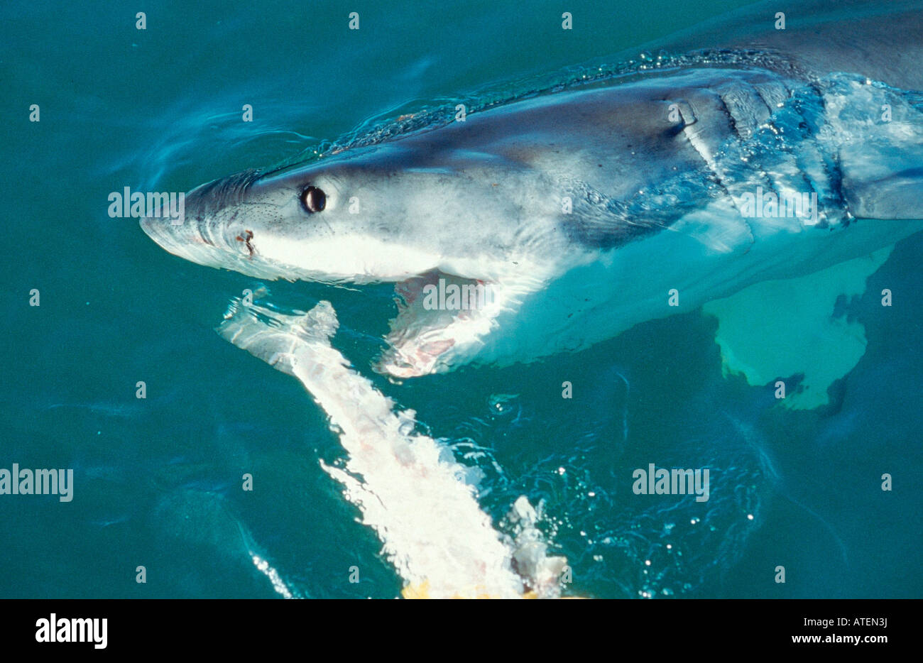 White pointer shark vs great white