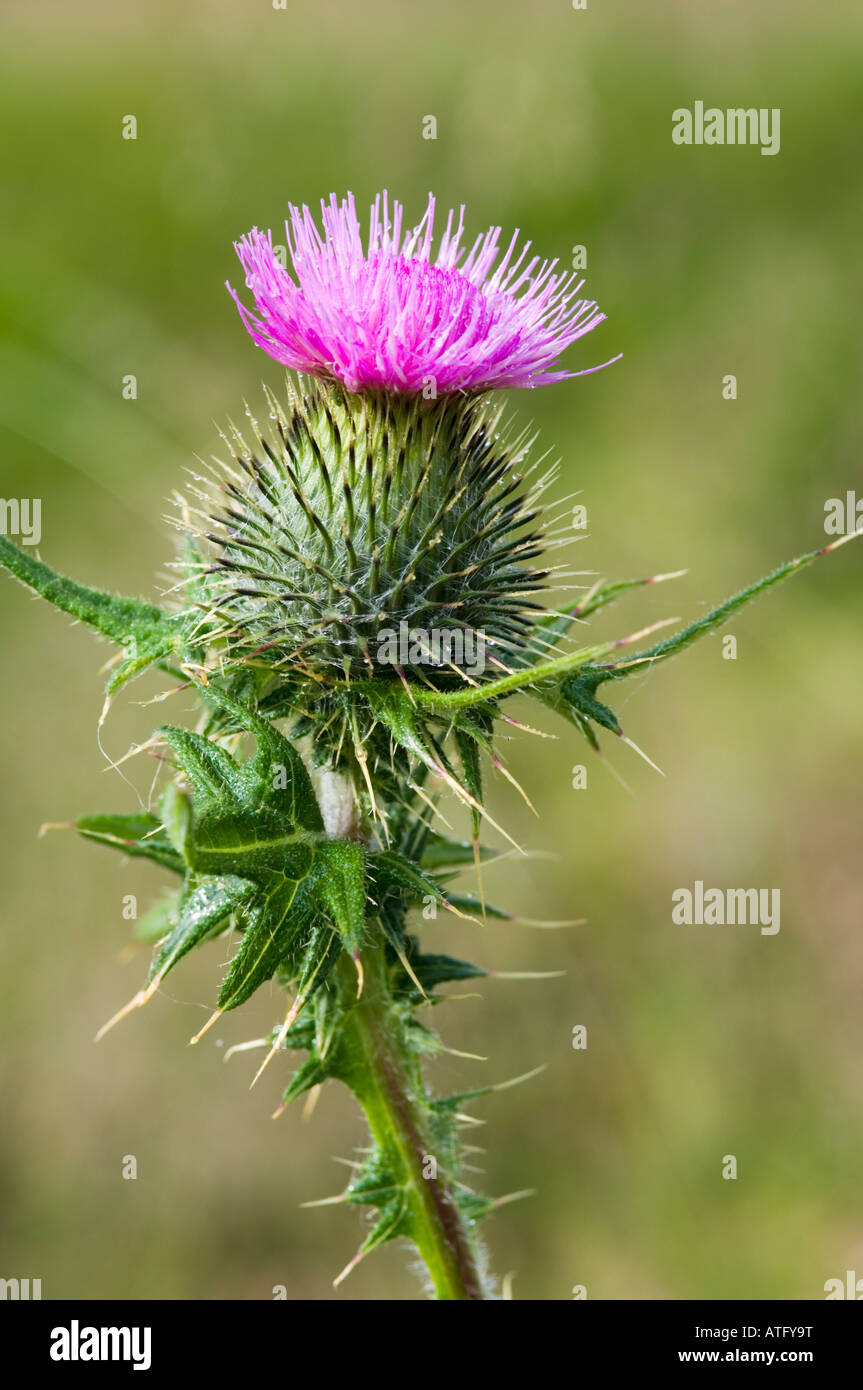 a spear thistle cirsium vulgare or scottish thistle growing in