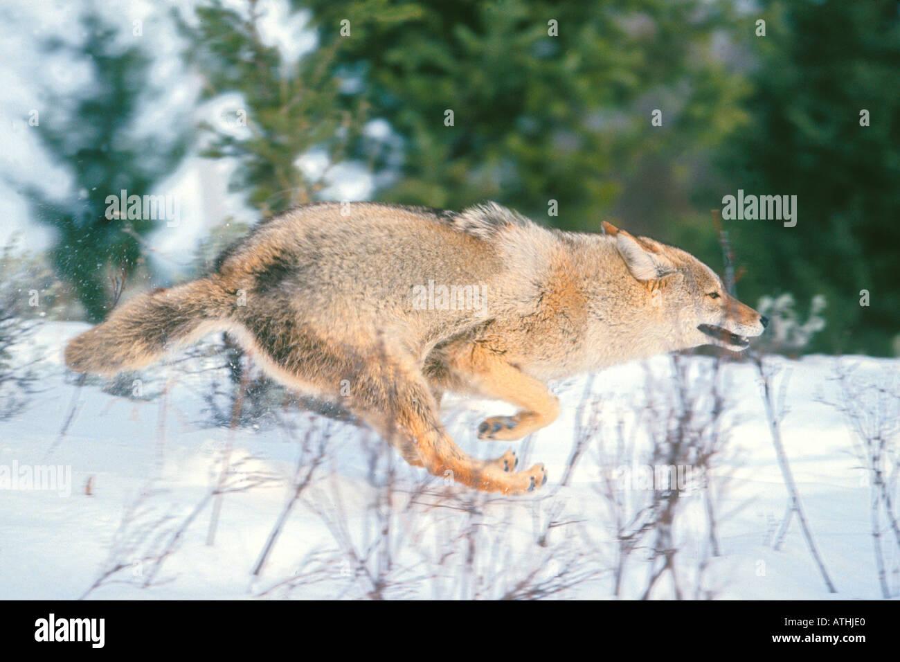 Coyote running full speed Stock Photo, Royalty Free Image ...  Coyote running ...