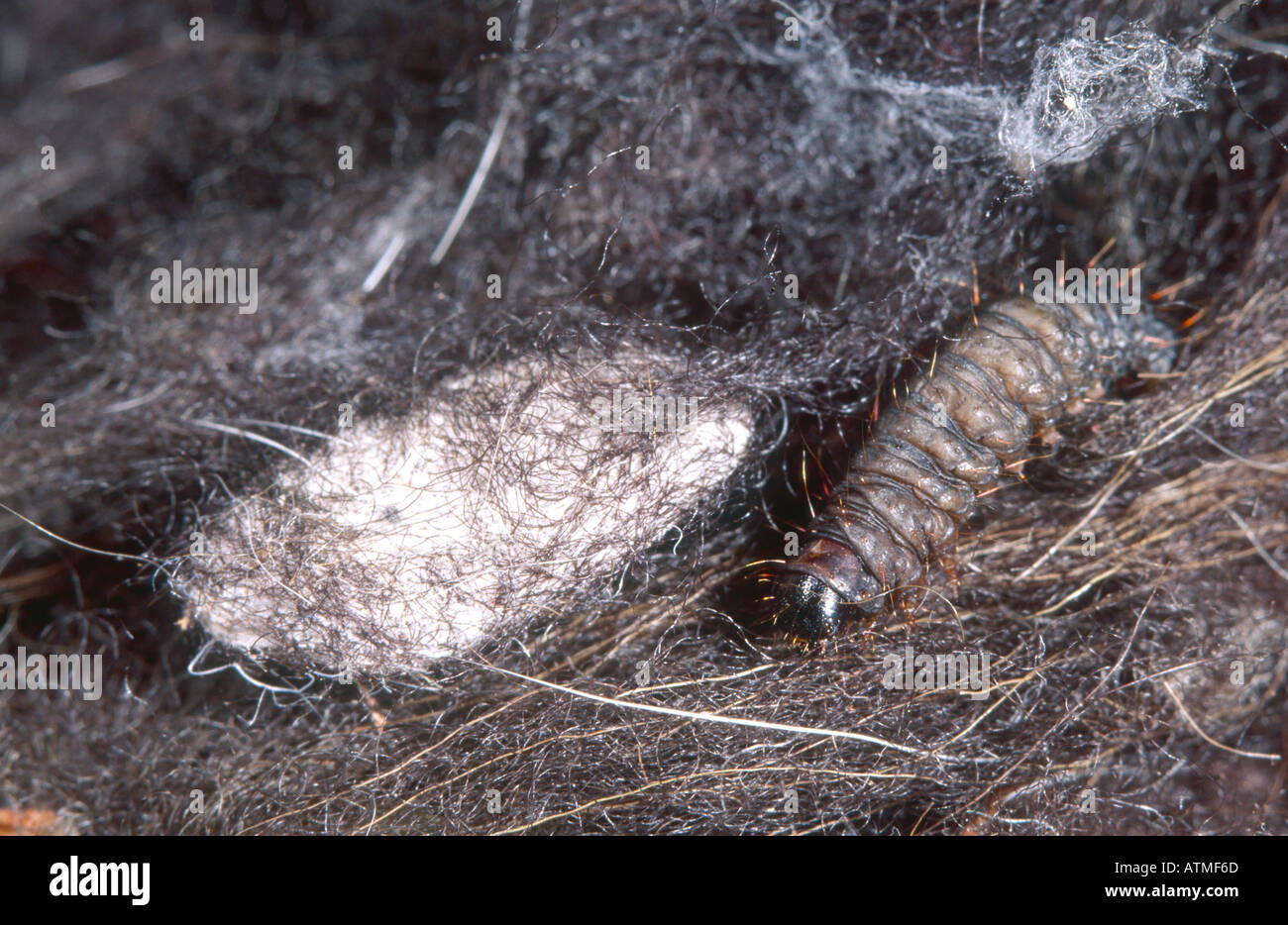 Clothes Moth Larva And Cocoon Stock Photo Royalty Free