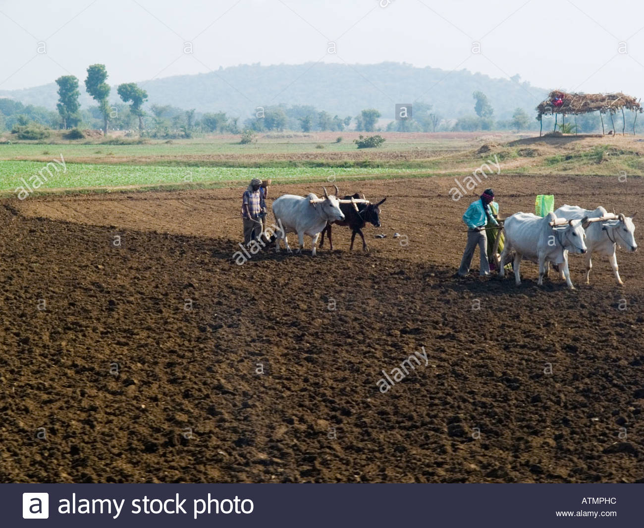 Primitive farming method with farmers ploughing field with ...