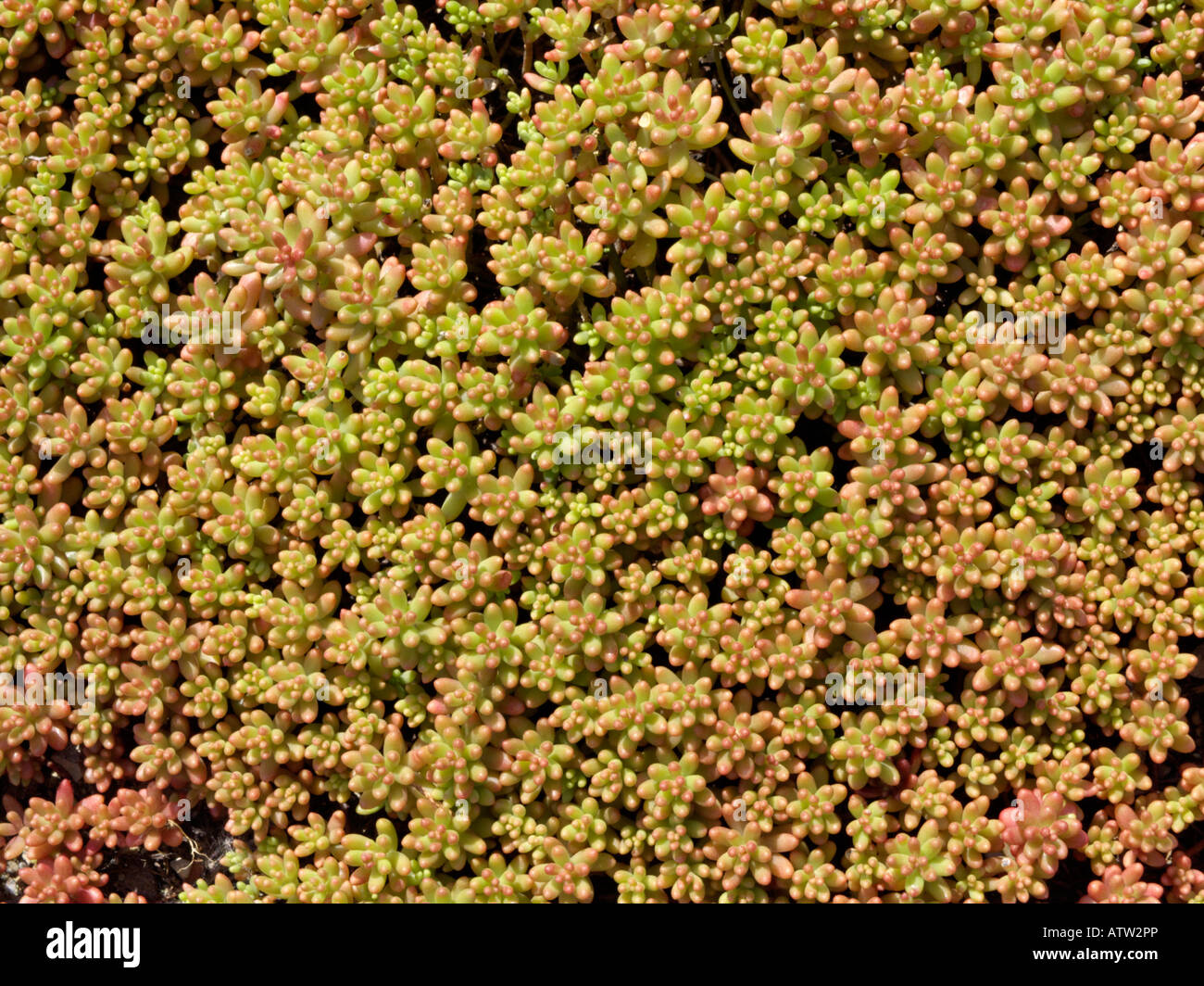White stonecrop sedum album 39 coral carpet 39 stock photo royalty free image 16392813 alamy - Sedum album coral carpet ...