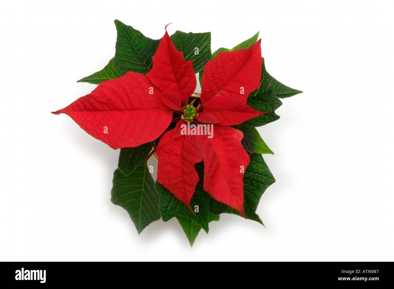 top view of red leaves of poinsettia house plant on white