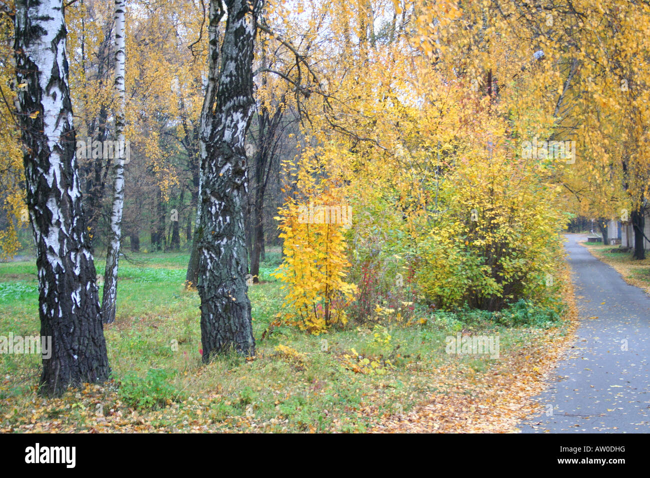The Birch trees alley in the autumn Stock Photo, Royalty Free Image ...