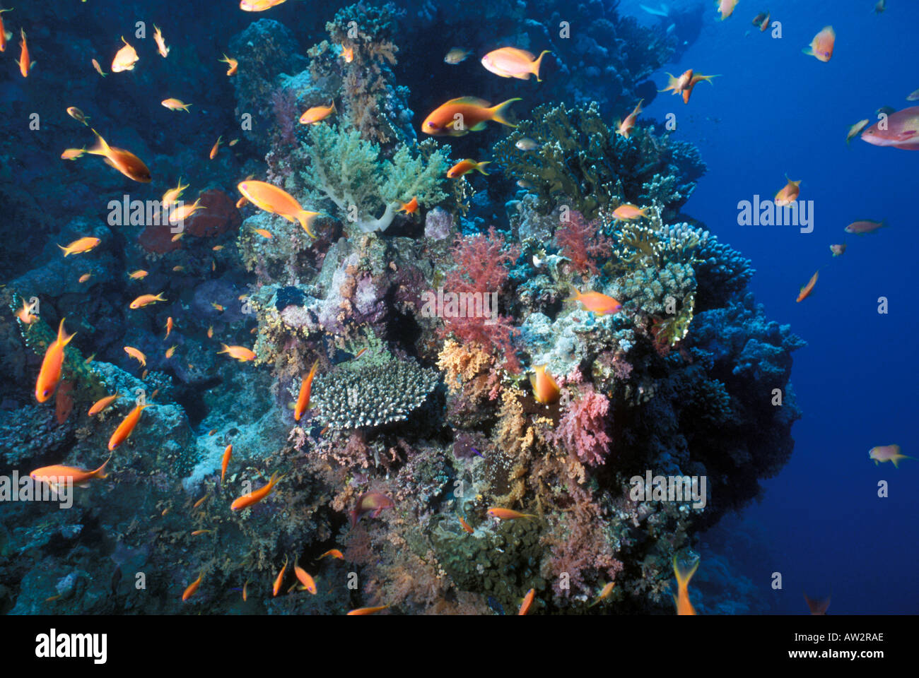 Egypt underwater Red Sea coral reef with schooling orange reef ...