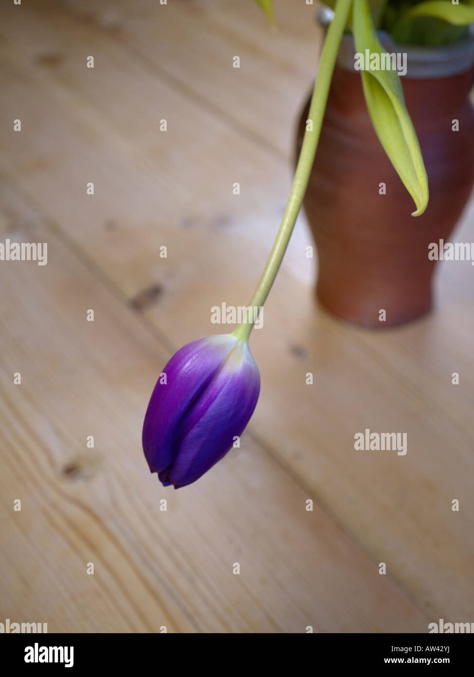A Single Blue Tulip In A Vase Stock Photo, Royalty Free ... Single Blue Tulip