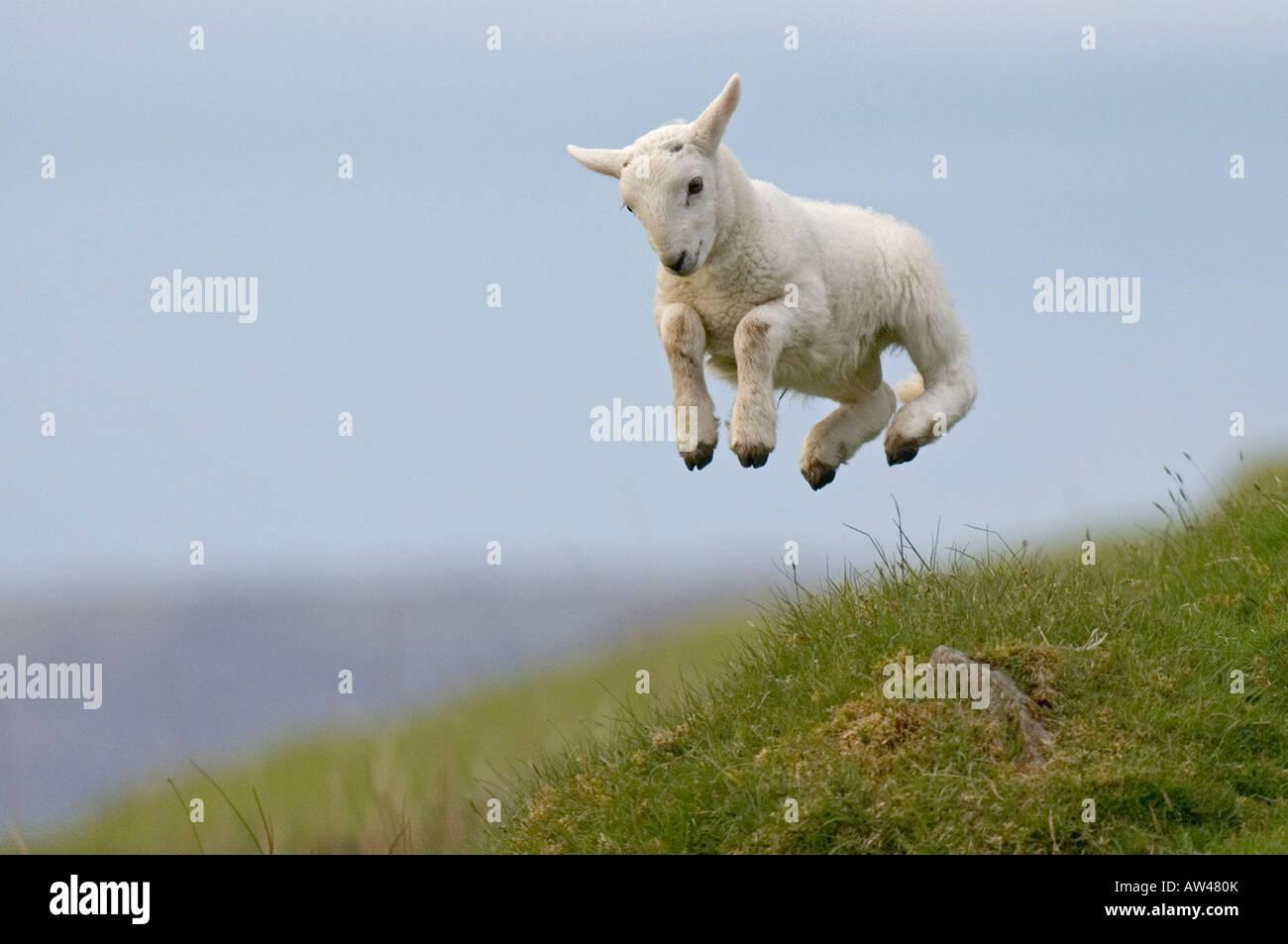 spring-lamb-AW480K.jpg