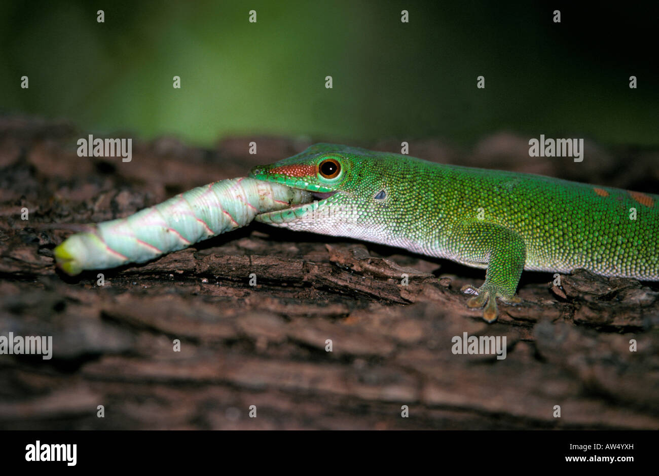 eating gecko stock photos u0026 eating gecko stock images alamy
