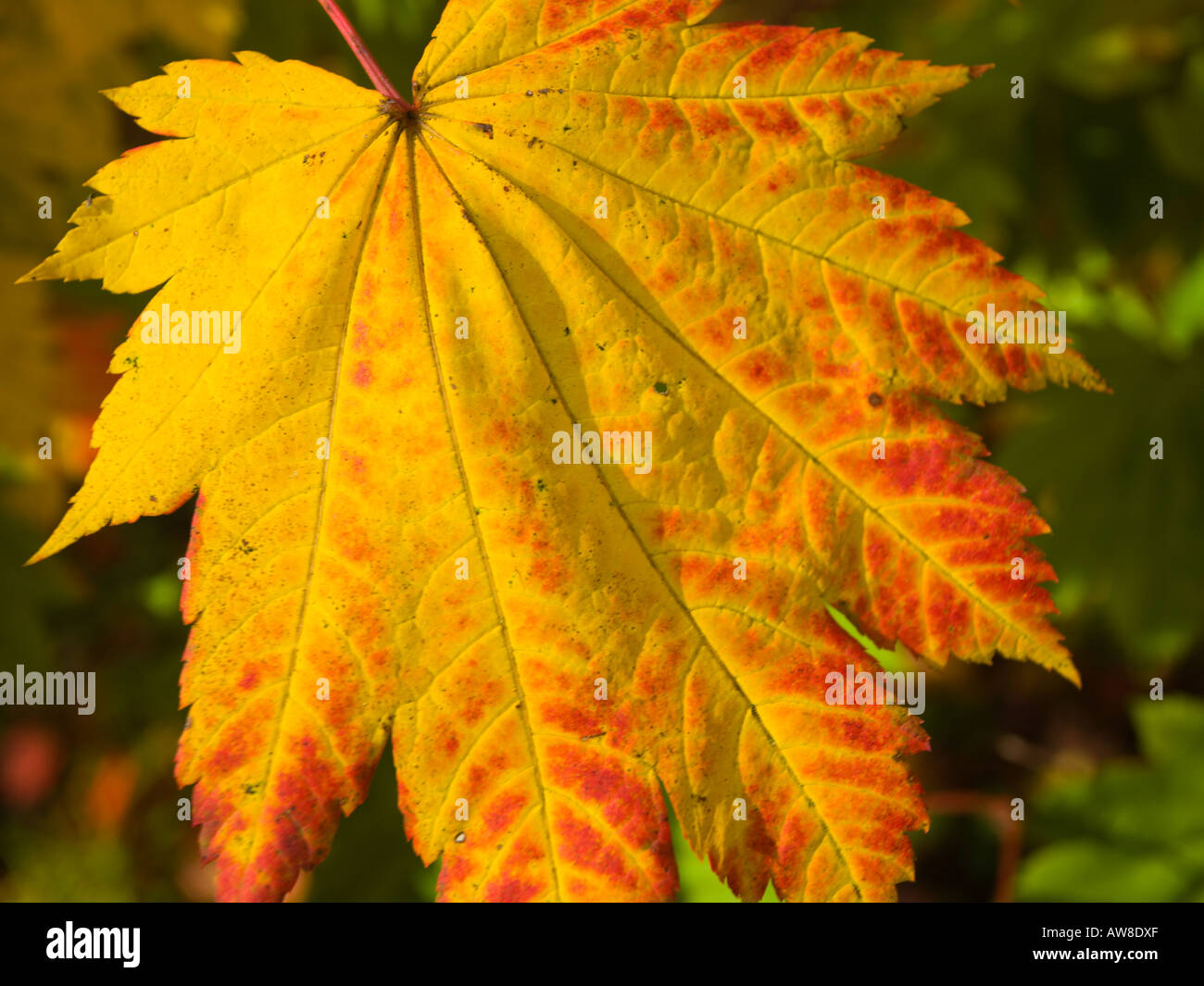 8 best images about Small Trees for Sunset zone 17 on ... |Full Moon Maple Leaf