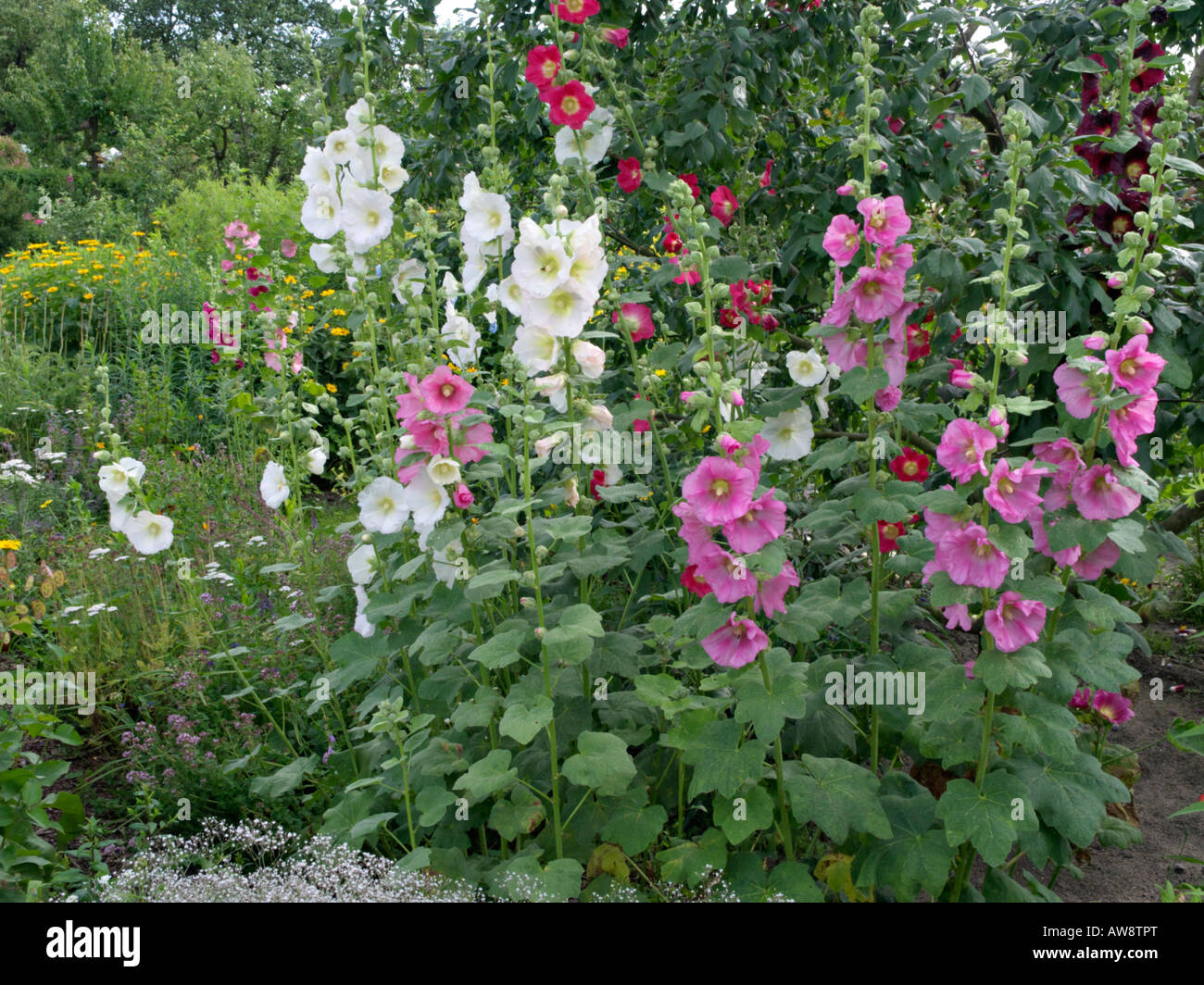 Common hollyhock alcea rosea stock photo royalty free for Alcea rosea