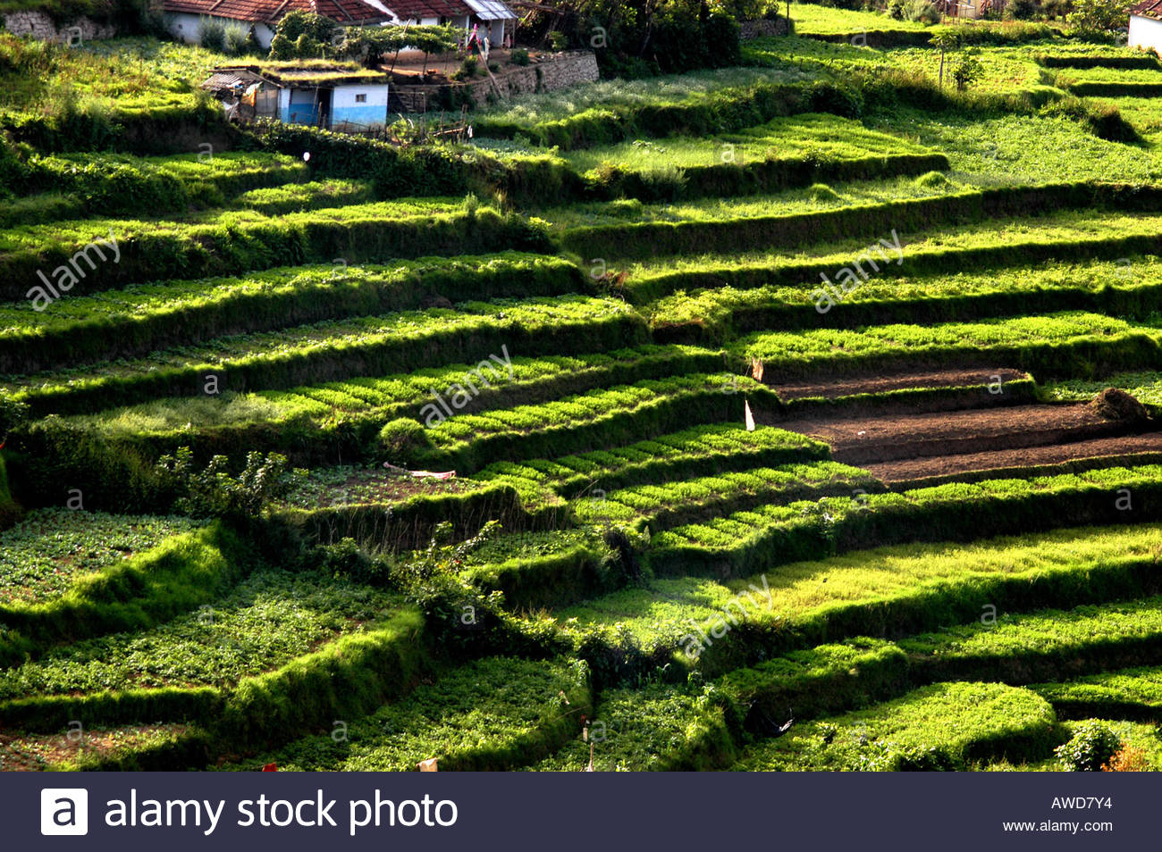 Terrace farming in koviloor near marayoor munnar kerala for Terrace cultivation