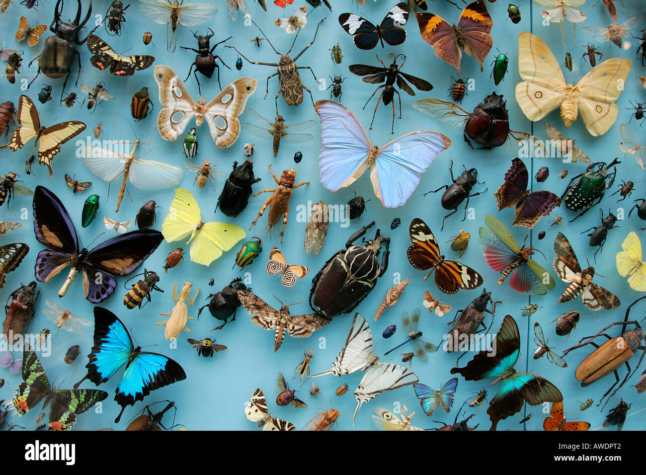 Beau Butterflies Museum Display Case Butterfly Displayed Beauty Bug Diurnal  Feelers Collecting Varied Variety Order Dried Died Nature
