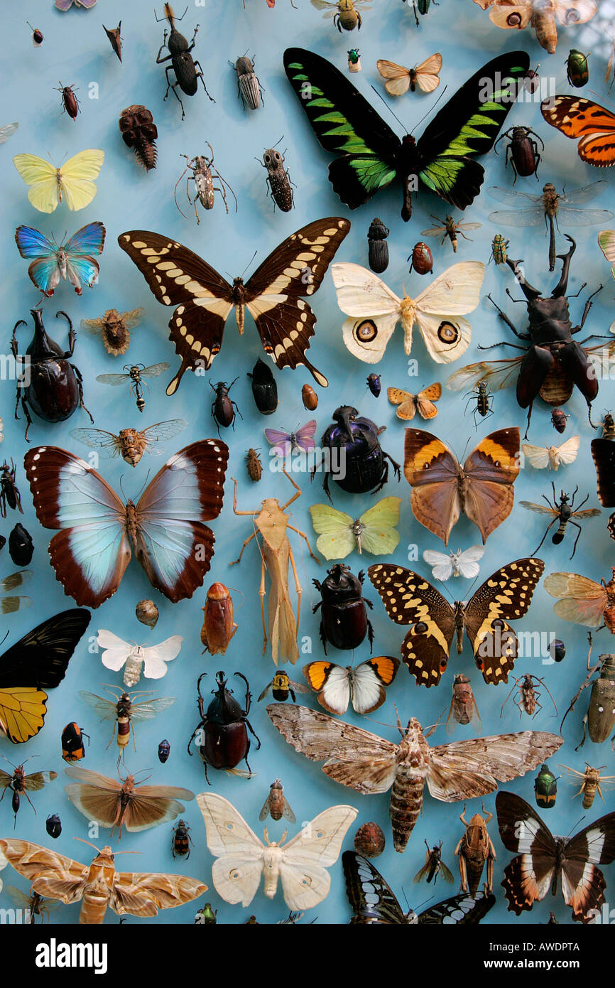 Butterflies Museum Display Case Butterfly Displayed Beauty Bug Diurnal  Feelers Collecting Varied Variety Order Dried Died Nature