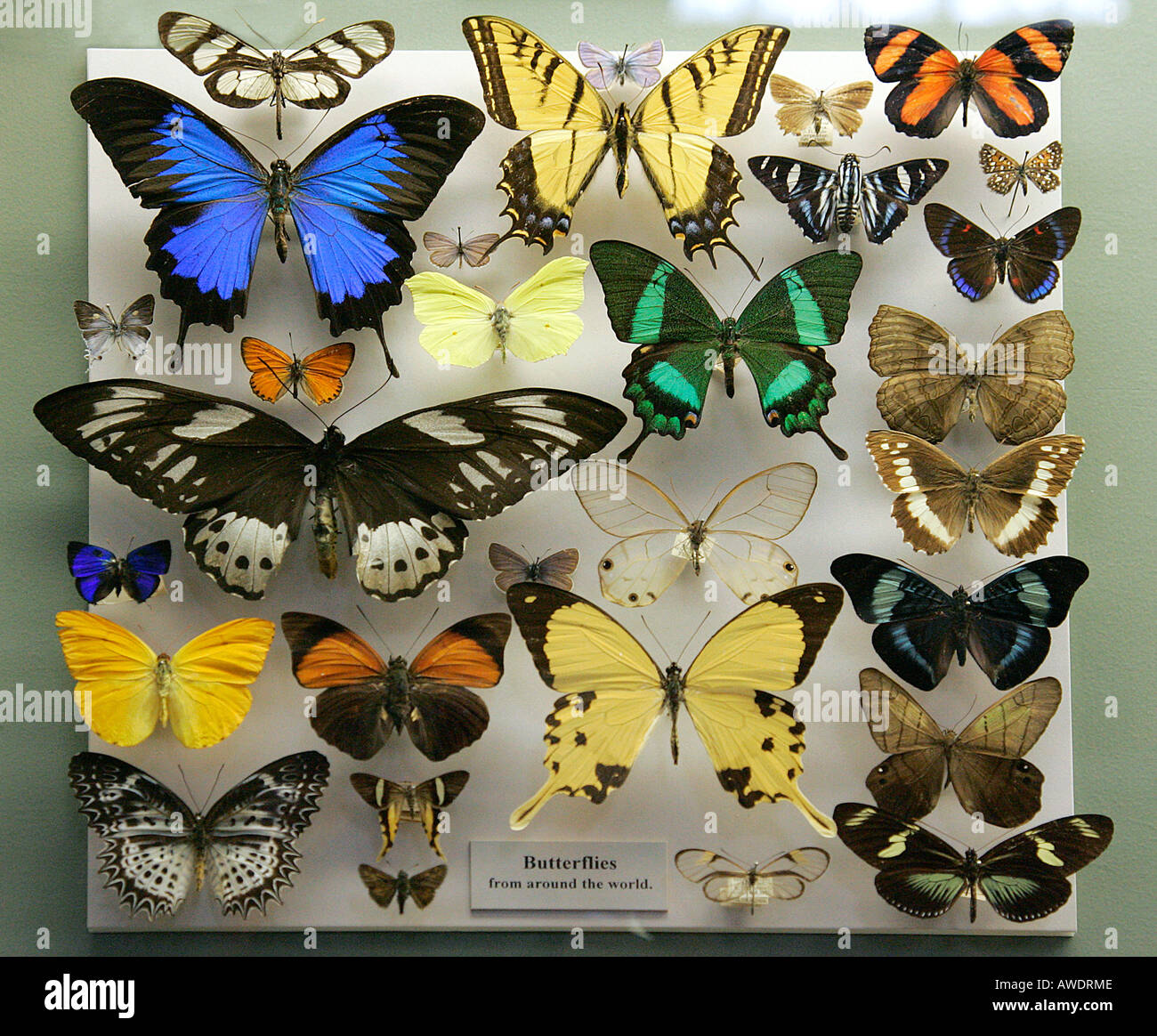 Merveilleux Butterflies Museum Display Case Butterfly Displayed Beauty Bug Diurnal  Feelers Collecting Varied Variety Order Dried Died Nature