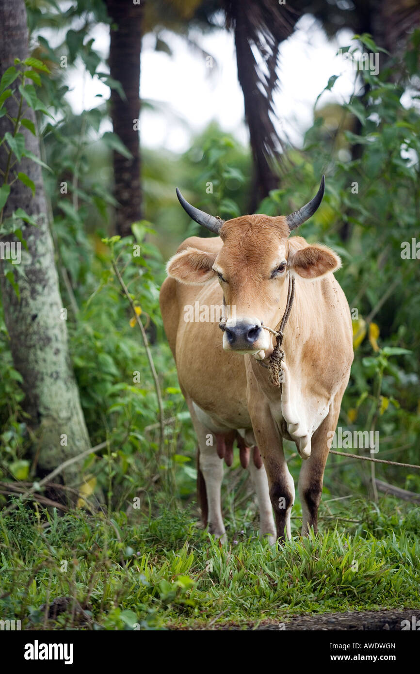 cattle rearing stock photos u0026 cattle rearing stock images alamy