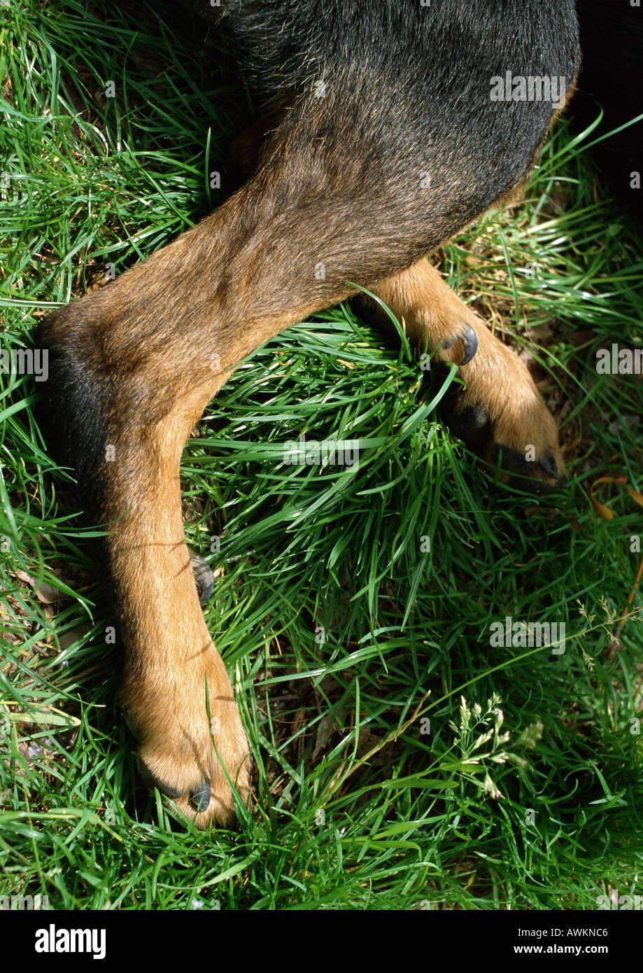 [Image: dogs-hind-legs-lying-down-AWKNC6.jpg]