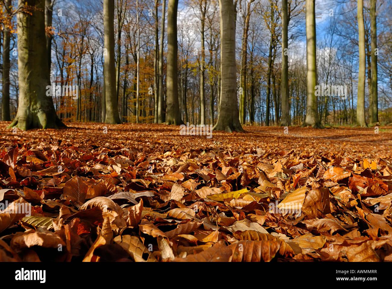 forest with leaf litter in autumn kiel schleswig. Black Bedroom Furniture Sets. Home Design Ideas