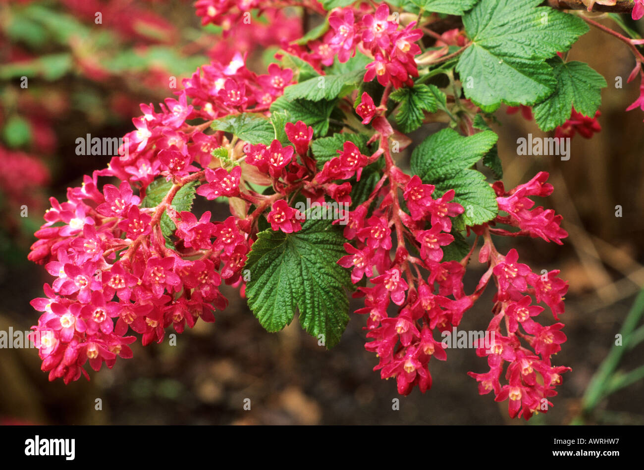 ribes sanguineum 39 king edward vii 39 flowering currant bush red stock photo royalty free image. Black Bedroom Furniture Sets. Home Design Ideas