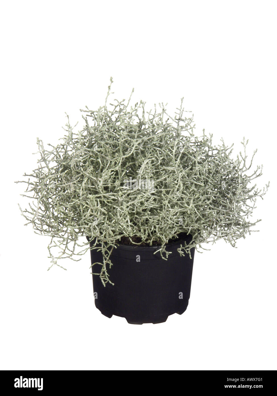 Silver wire netting plant cushion bush calocephalus