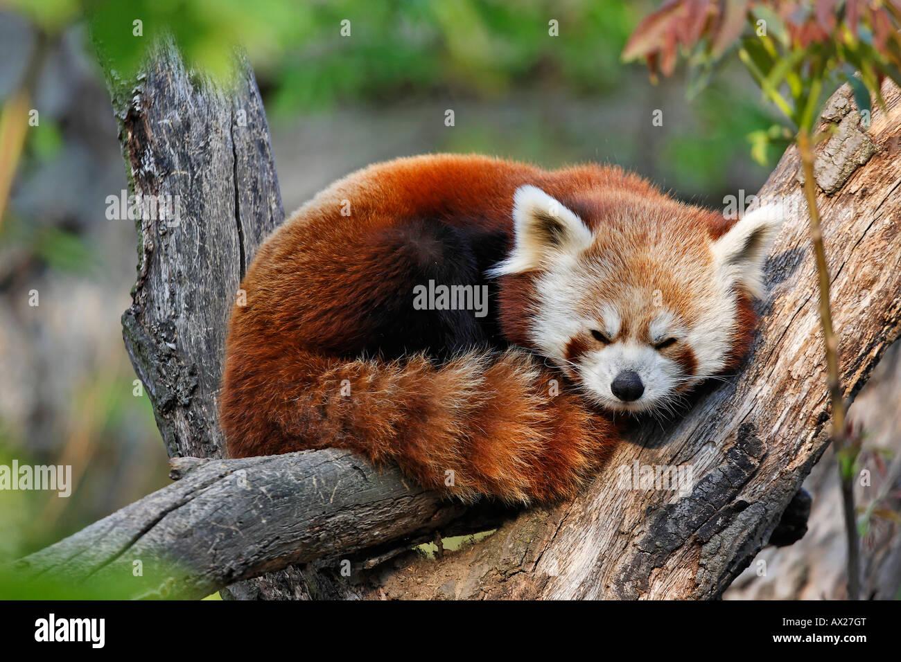 zoo panda europa