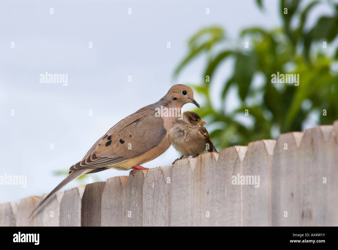 Baby doves stock photos baby doves stock images alamy a baby house sparrow passer domesticus cuddles up to an adult mourning dove buycottarizona
