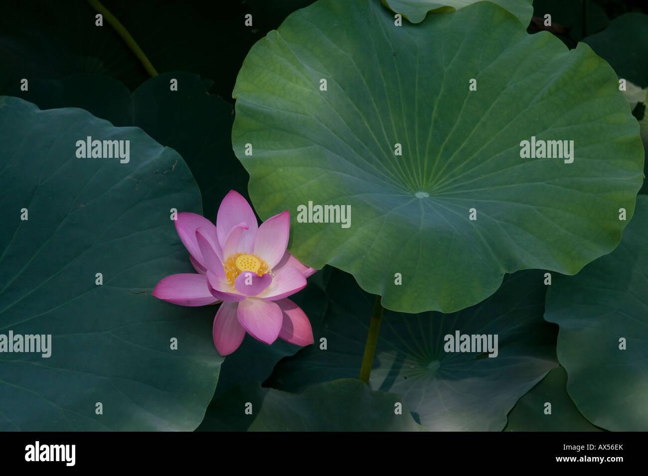 Chinese lotus flower stock photo royalty free image 16732746 alamy chinese lotus flower izmirmasajfo