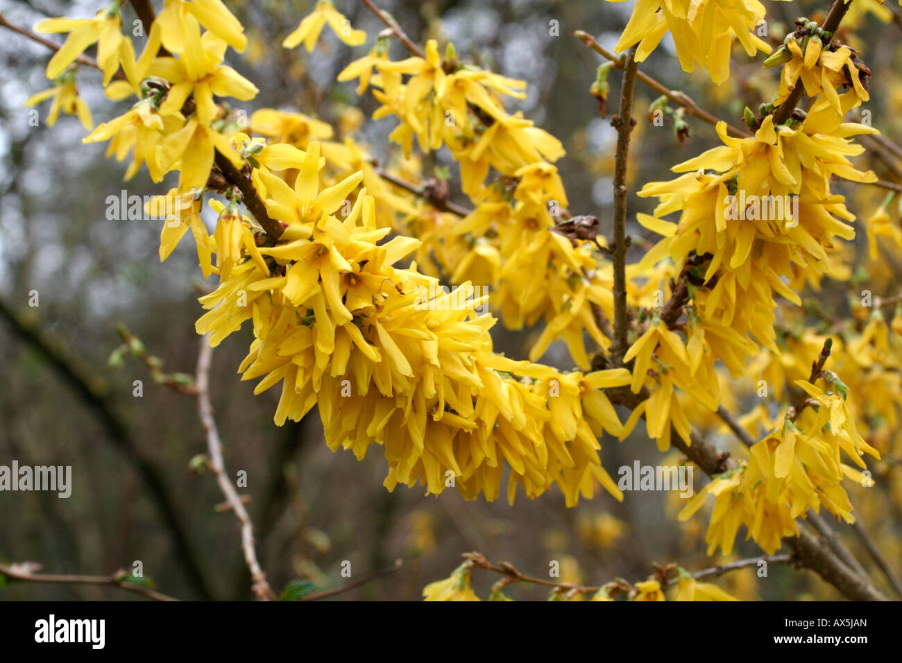 Forsythia x intermedia lynwood variety agm stock photo - Forsythia x intermedia ...
