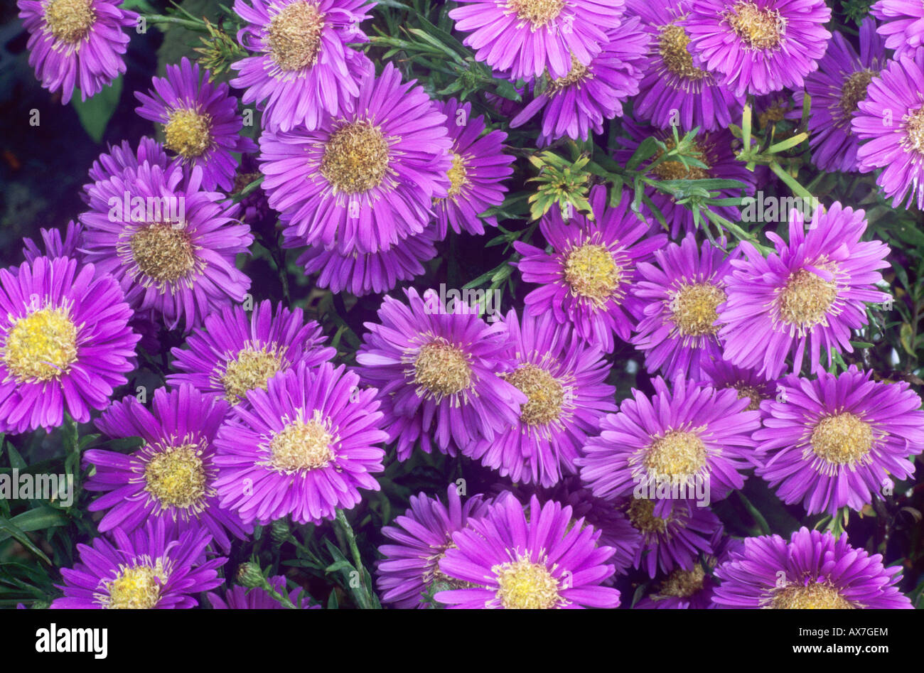 aster dumosus 'sapphire' pink purple flower garden plant stock