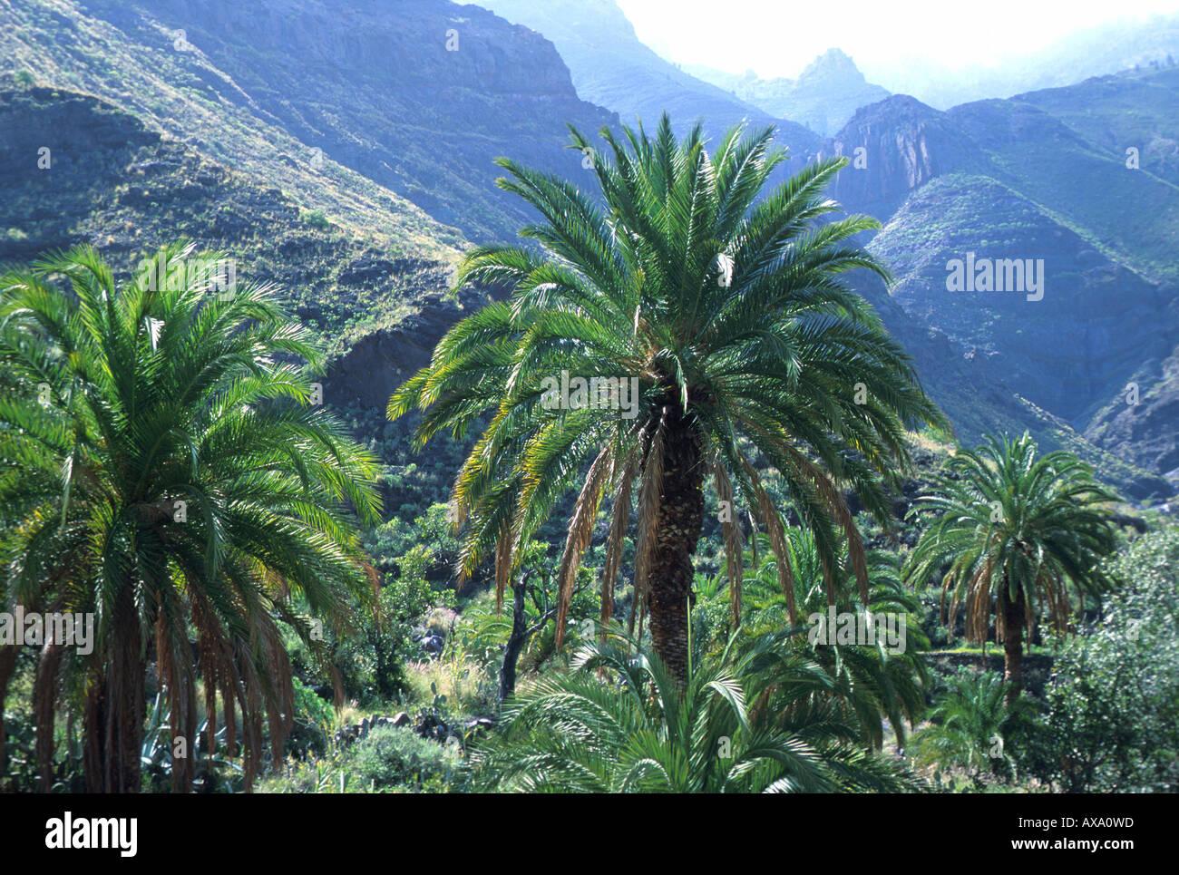 Palmen berglandschaft tal von el risco bei agaete gran - El baul gran canaria ...