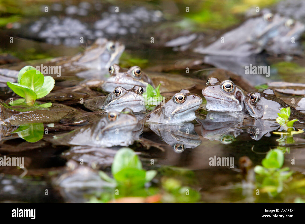 Mass of Common Frogs in a garden pond with spawn during the