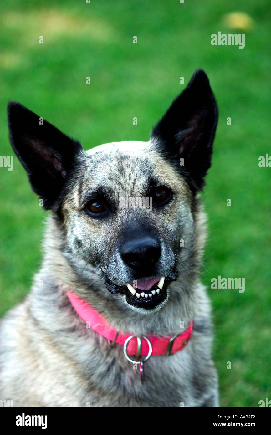 greyhound german shepherd mixed breed dog stock photo