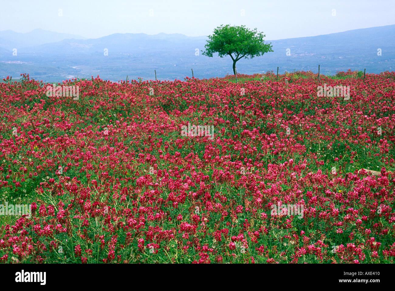 Sicily Italy Wild flower landscape near Randazzo Stock Royalty Free