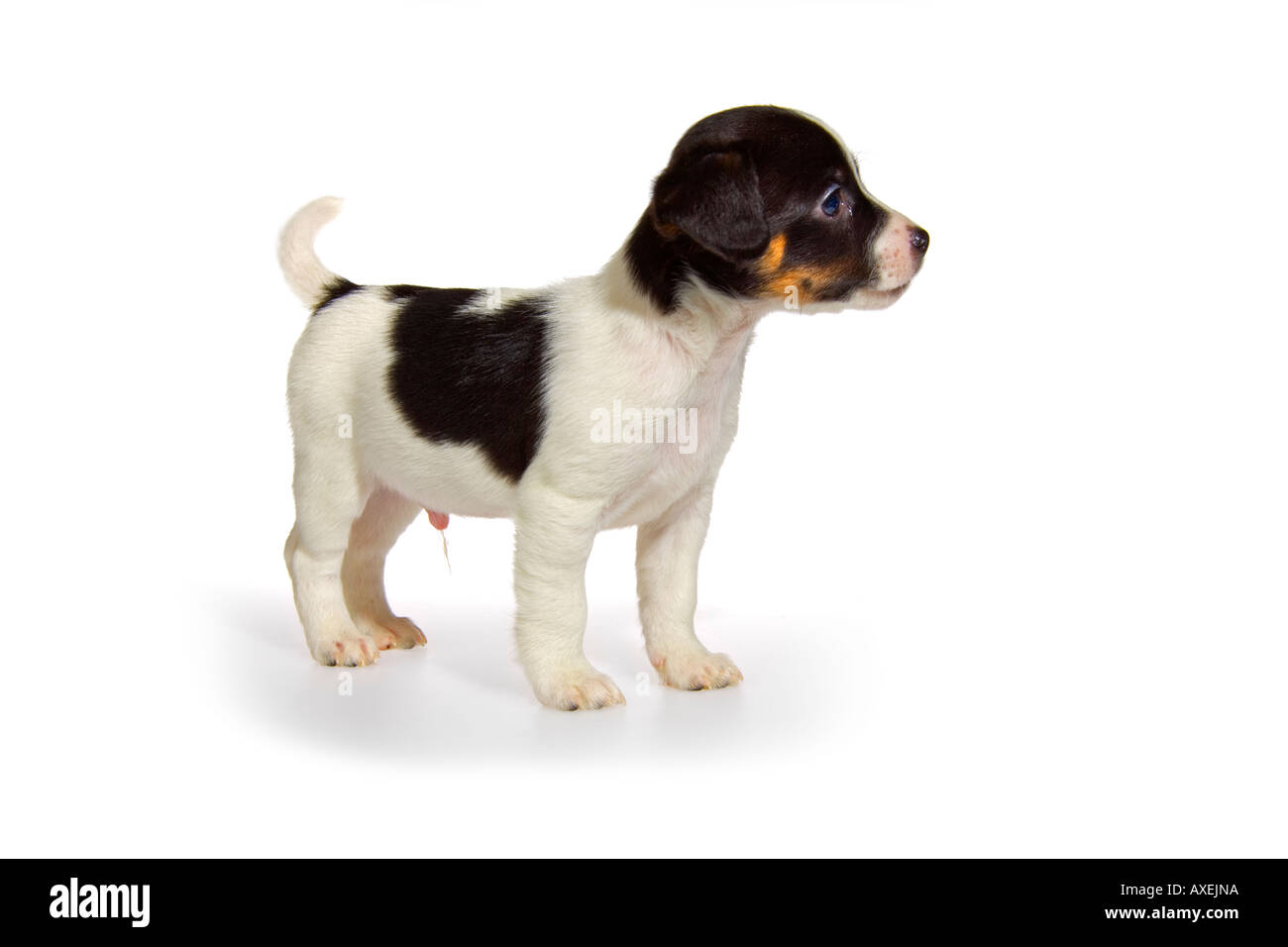 Jack russell terrier black and white puppies