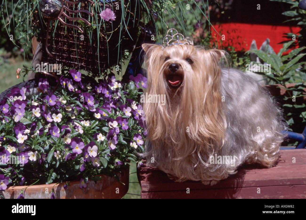 Dog Yorkshire Terrier Yorkie Wearing Tierra Garden Setting Flowers PR 243